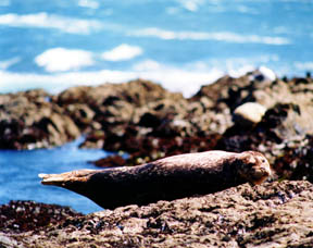 Harbor Seal, Shelter Cove